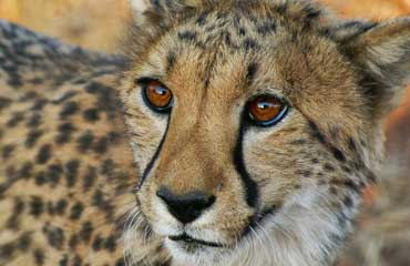 Cheeta in Kruger Park