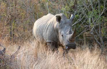 Rhino picture in kruger park by mabeco tours