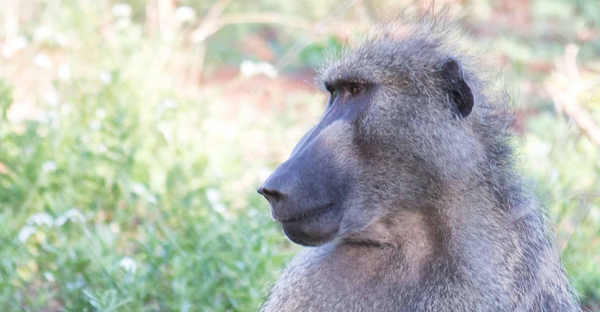 Baboon in Kruger park with Mabeco tours on a 1 day tour to kruger from Maputo