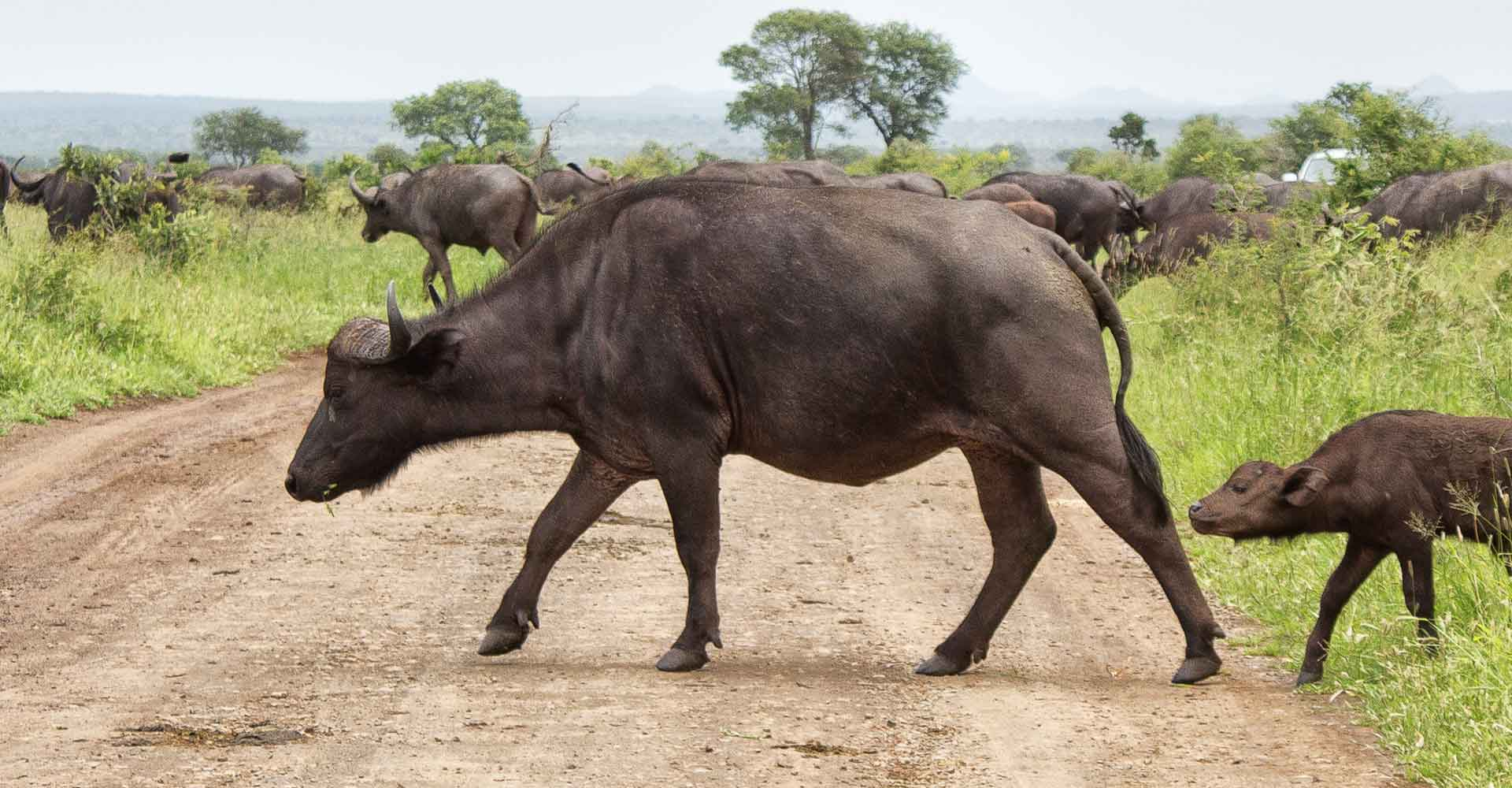 Sighting of a buffalo herd in kruger park during a day trip from maputo with Mabeco tours