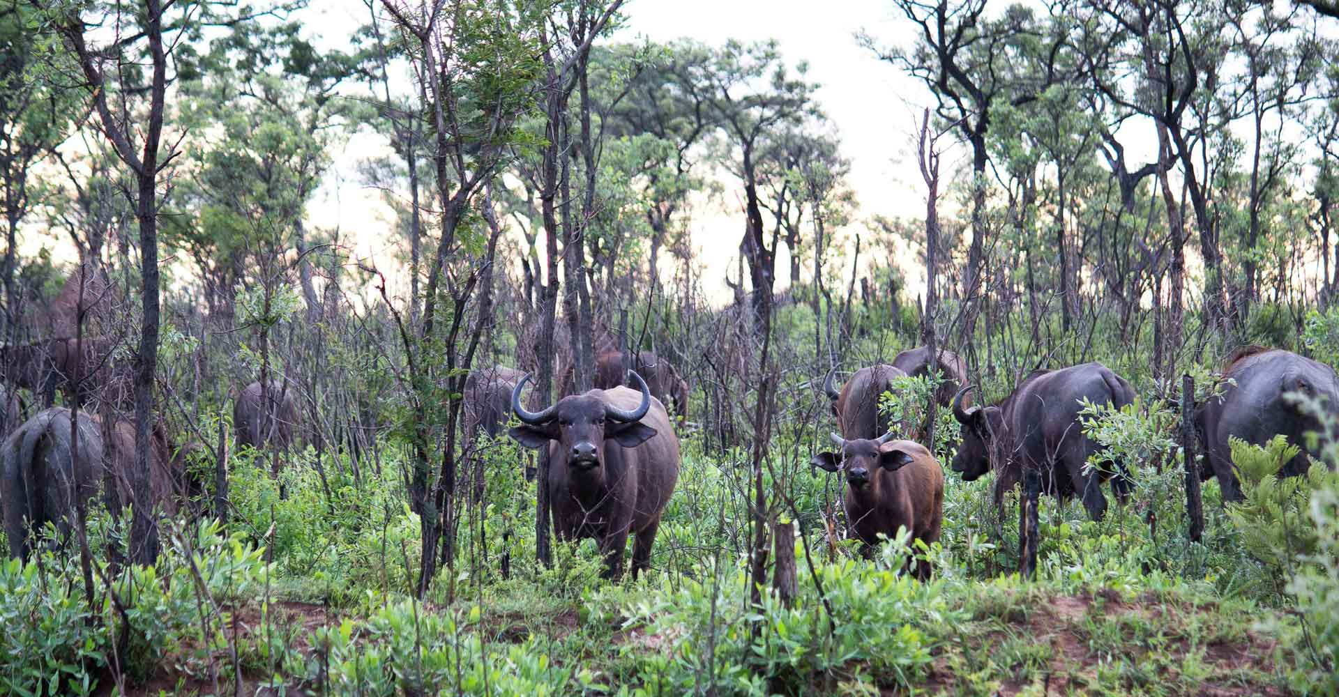 Buffaloes in Rainy season by Mabeco tours during a 3 day kruger safari from Maputo