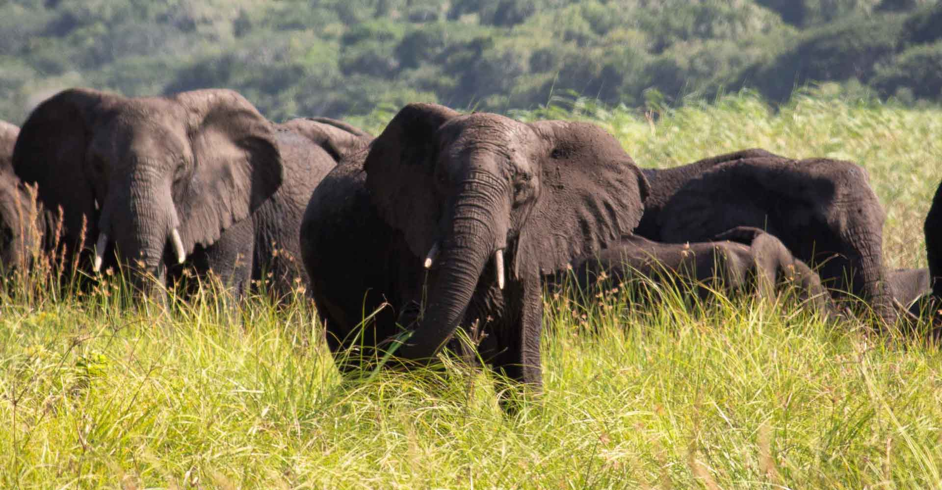 Elephant herd in Maputo special reserve with Mabeco tours a travel agency based in Maputo