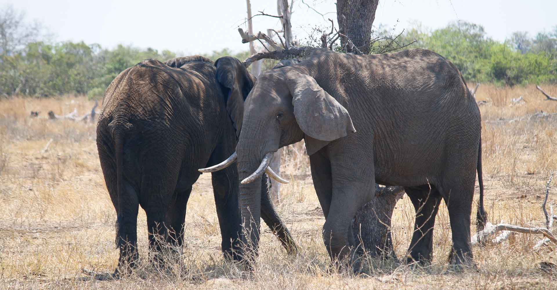 Elephants at Sabie Game park with Mabeco tours from Maputo