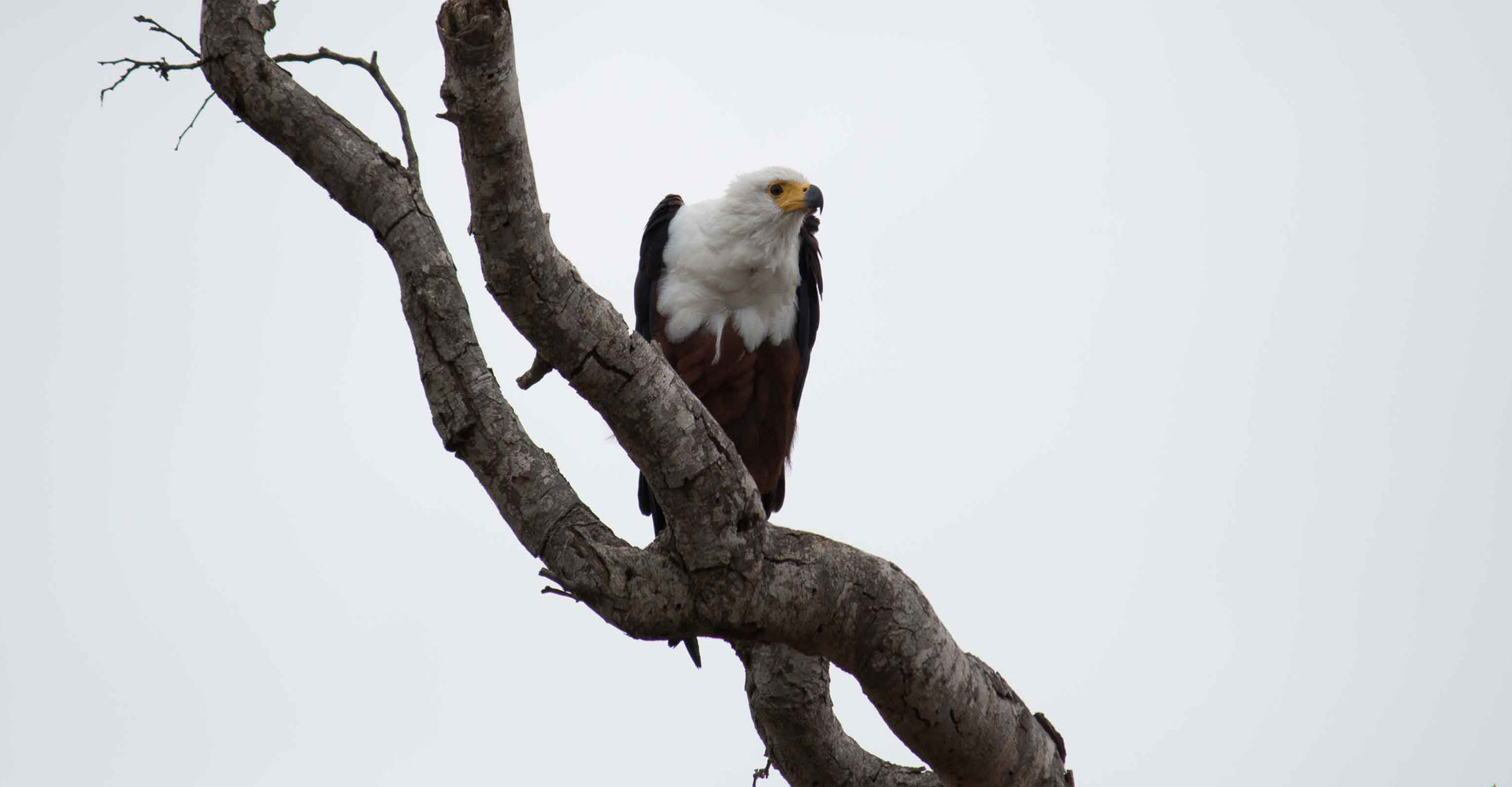 Photo of a fish eagle in Kruger park by Mabeco tours