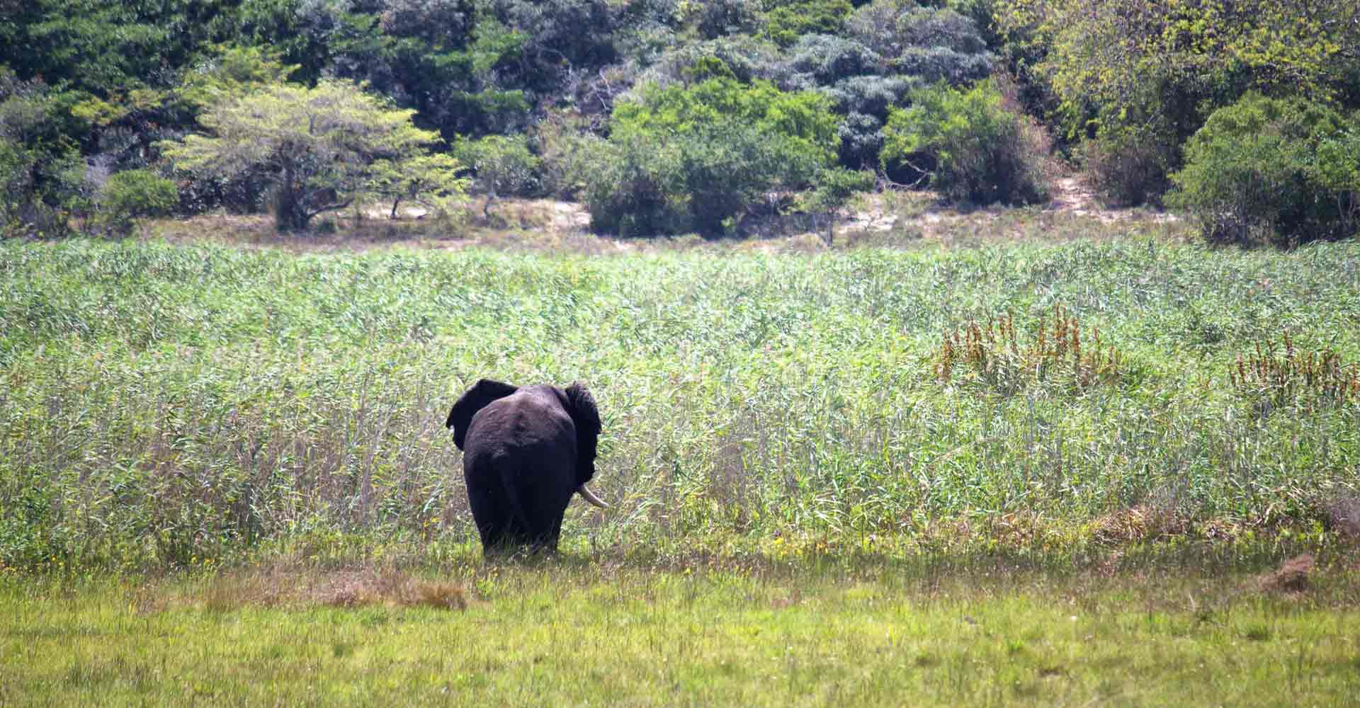 Elephant bull in Maputo special reserve in Mozambique by Mabeco tours
