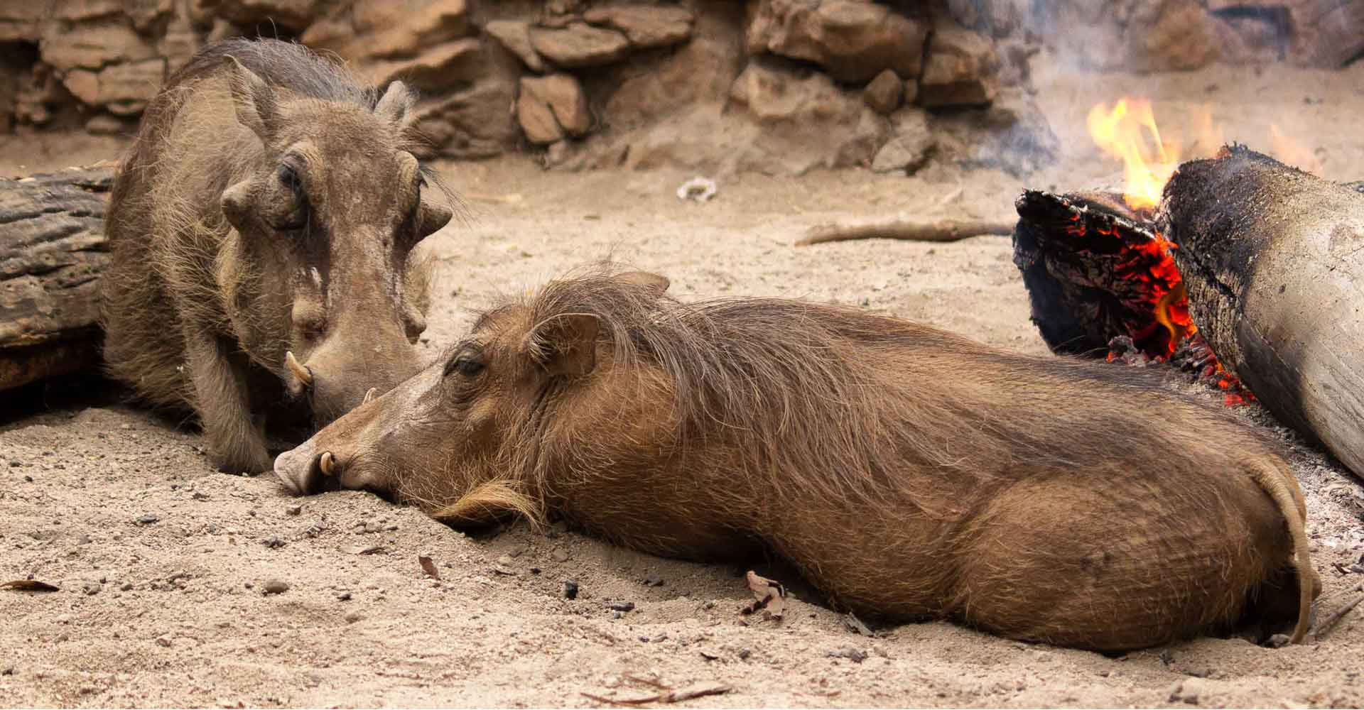 warthogs in Mlilwane by mabeco tours on a holiday package from Maputo