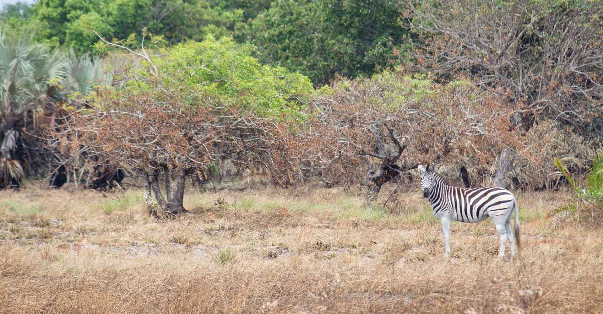 Zebra sighting on a Maputo special reserve overnight trip with Mabeco tours