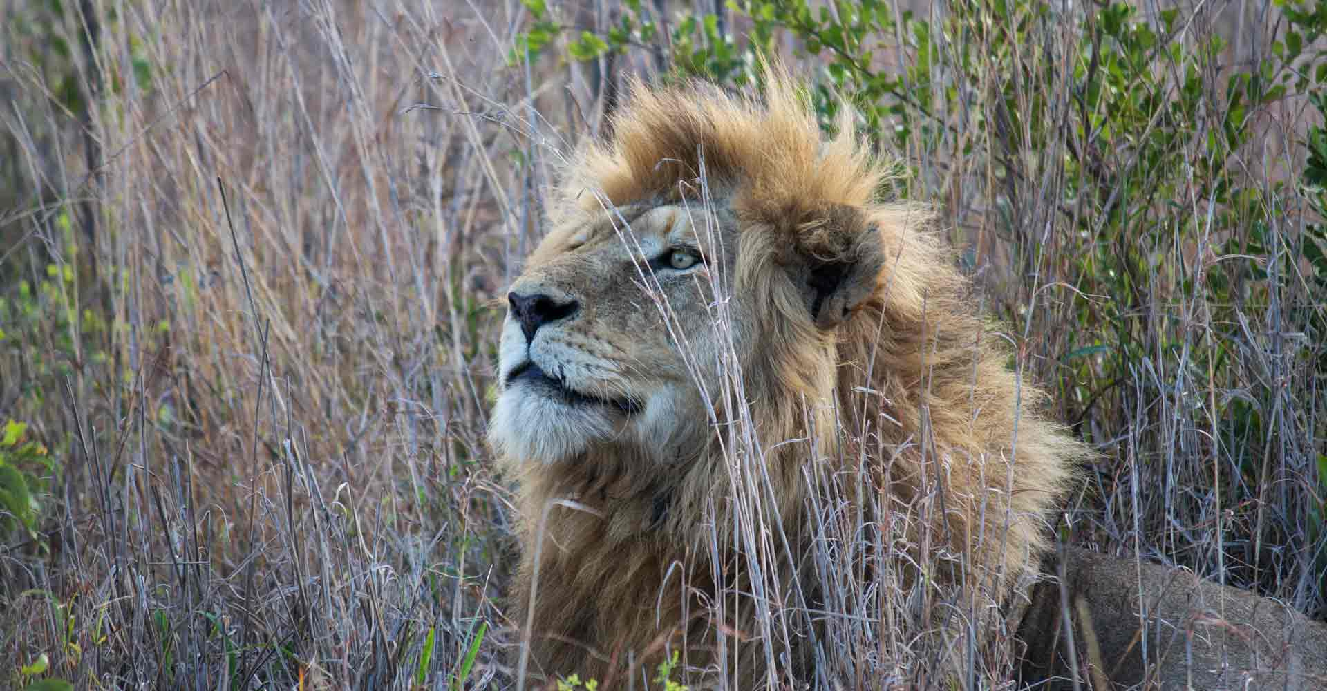 Lion sighting by Mabeco tours a travel agency from Maputo