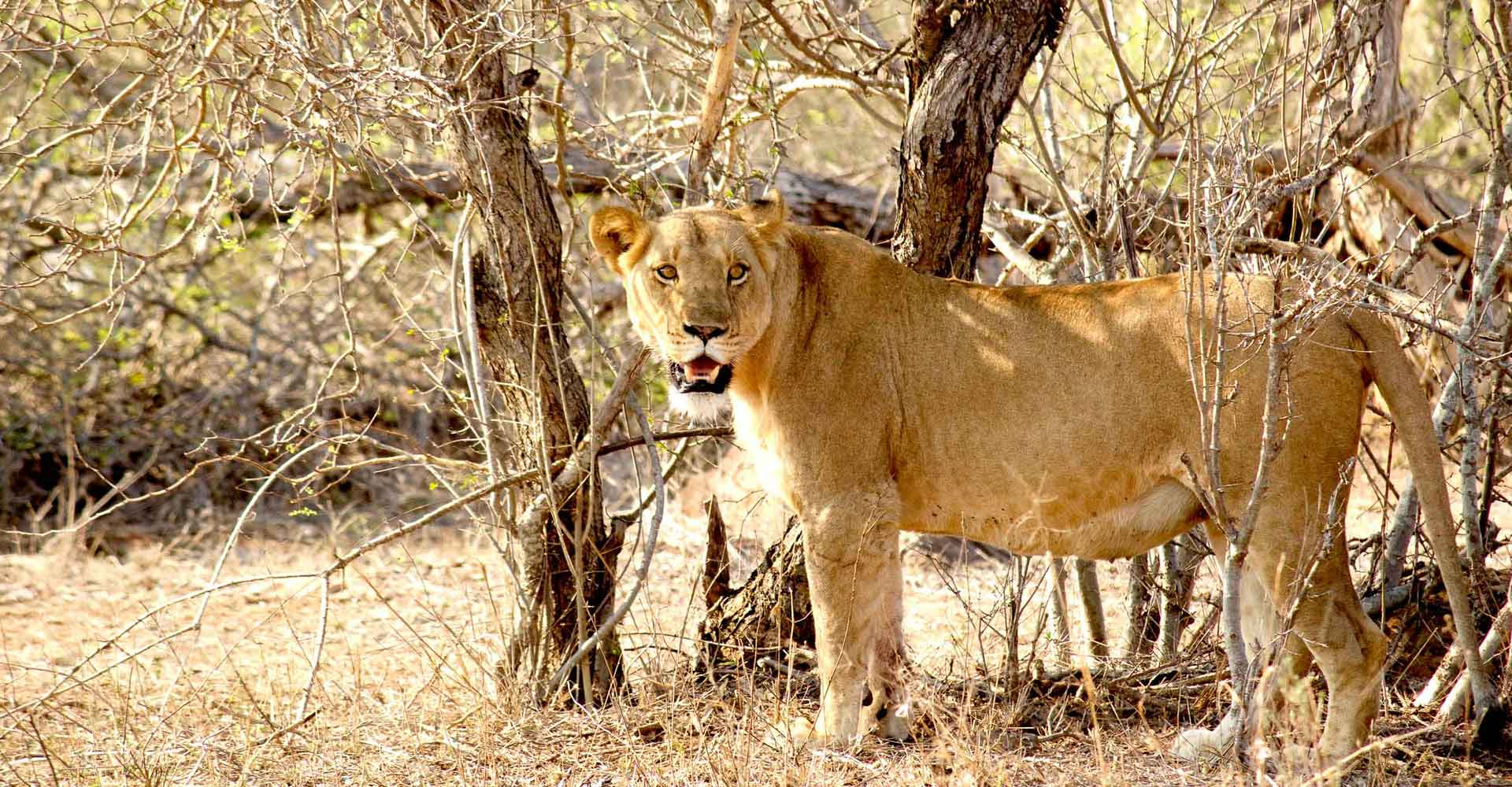 Lioness in Hlane by Mabeco tours from Maputo