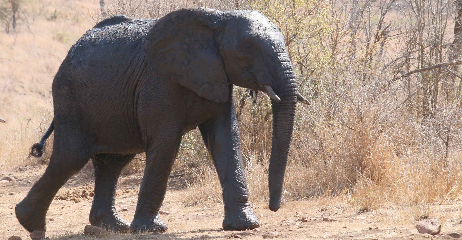 young elephant in Sabie game park with Mabeco tours